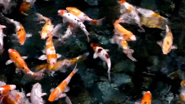 viele koi fische bewegt sich schnell im dunklen wasser - tradition stock-videos und b-roll-filmmaterial