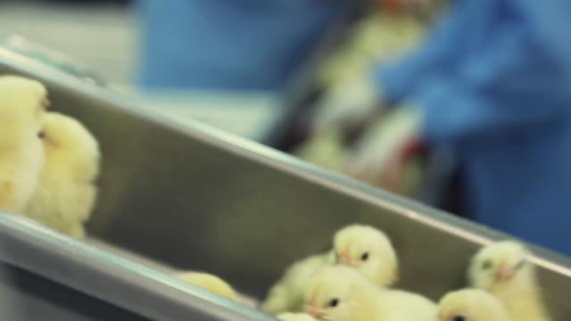 vídeos de stock, filmes e b-roll de muitos filhotes recém-nascidos se movendo em transportadora de aves. indústria agrícola.  classificando garotas na fábrica. - ave doméstica