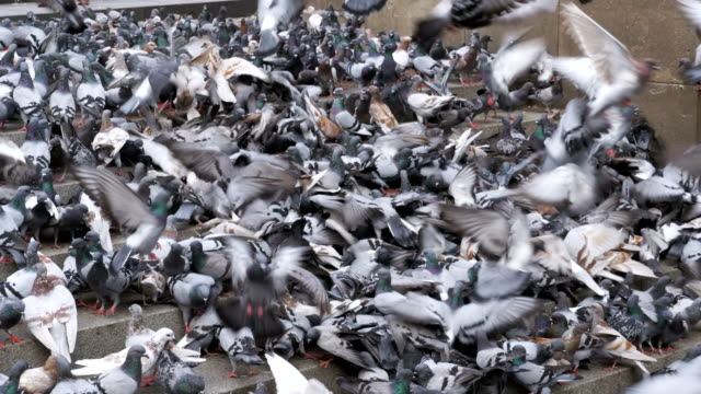 Lot of Pigeons Eat Food on the Street video