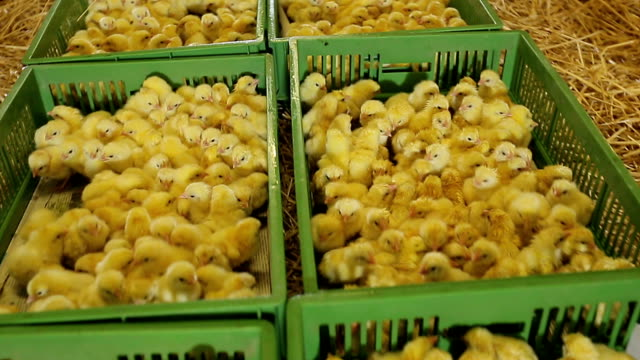 stockvideo's en b-roll-footage met heleboel kleine kuikens in kippenboerderij. - chicken bird in box