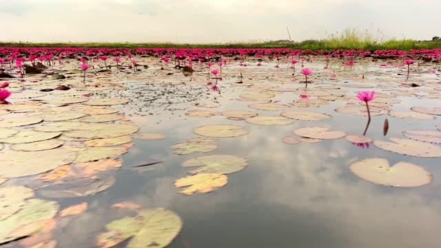 vídeos de stock, filmes e b-roll de lago de flor de lotos - lotus