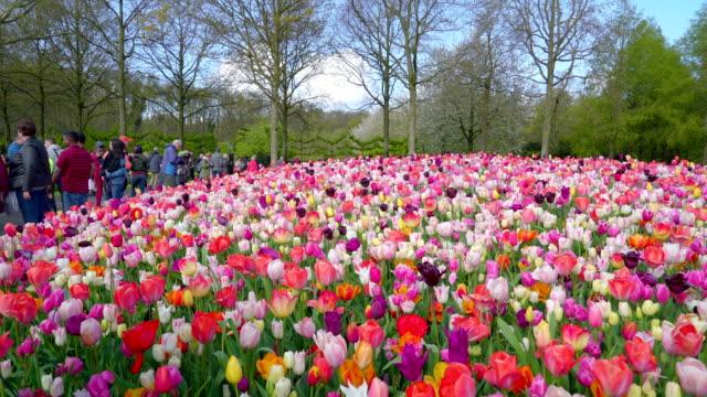 keunkenhof に咲く色とりどりの花がたくさん - キューケンホフ公園点の映像素材/bロール