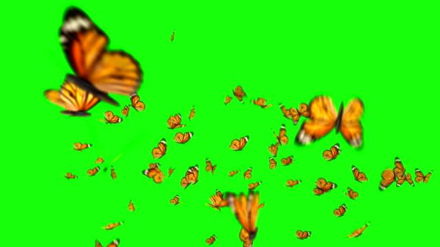 Lots of Butterflies flying Butterflies flock flying, isolated on green box background. Ultra HD, Ultra-High Definition. 3D Render. butterfly insect stock videos & royalty-free footage