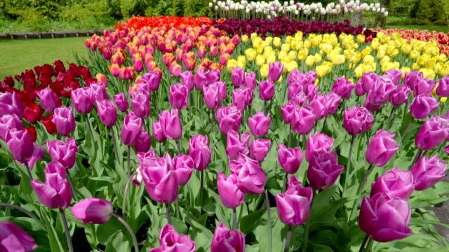 庭で色とりどりのチューリップの花がたくさん - キューケンホフ公園点の映像素材/bロール