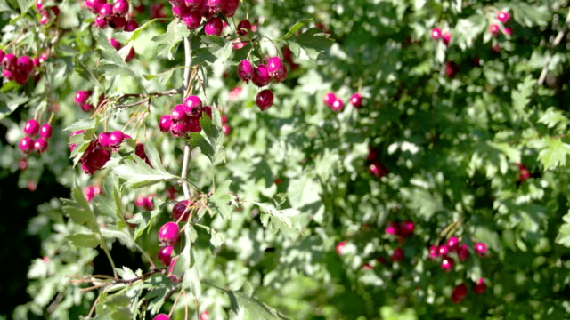 Lots of Crataegus fruits bloomed on the spring video