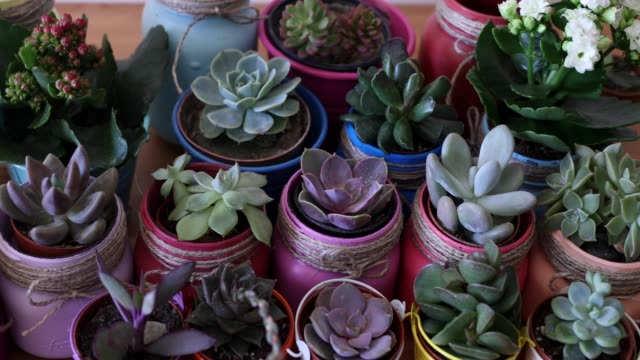 Lots of different colorful succulents in colorful pots, pink, green, spring, indoors, hobby, DIY, hand, gardening, planting video