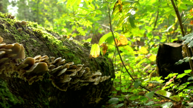 Lots of Fomitopsis Pinicola found on the trunk of a mossy tree