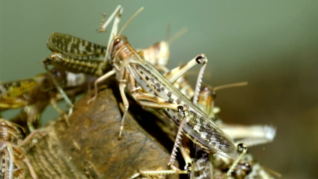 Lots of grasshopper flocking into a wood video