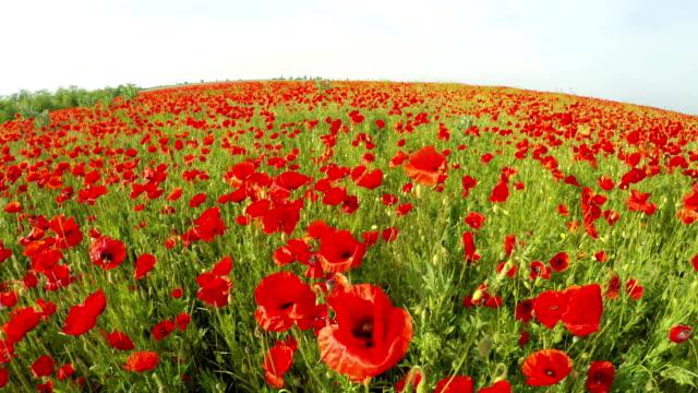 Lots Of Poppies Blooming In Green Field video