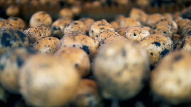 lots of potato tubers moving and rolling in an agricultural machine. fresh harvest concept - patate video stock e b–roll