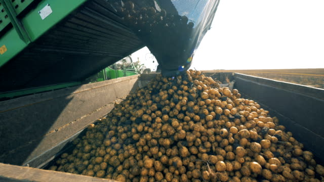 lots of potatoes are getting dropped by a collecting machine into a container - patate video stock e b–roll