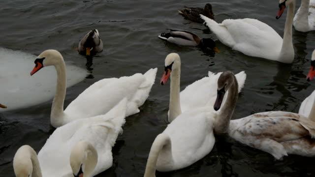 massor av svanar och ankor på frusna floden. flock fåglar. - djurlem bildbanksvideor och videomaterial från bakom kulisserna
