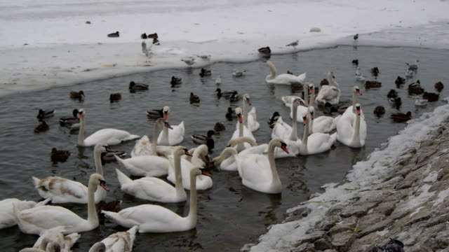 Lots of swans and ducks on the frozen river. Flock of birds. White swans and wild ducks swimming in frozen river on winter. animal limb stock videos & royalty-free footage