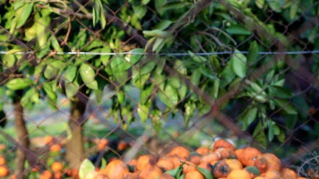 massor av tangerina den ruttna under träd - food waste bildbanksvideor och videomaterial från bakom kulisserna