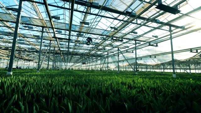 viele tulpenblumen wachsen im boden in einem großen gewächshaus. - gewächshäuser stock-videos und b-roll-filmmaterial