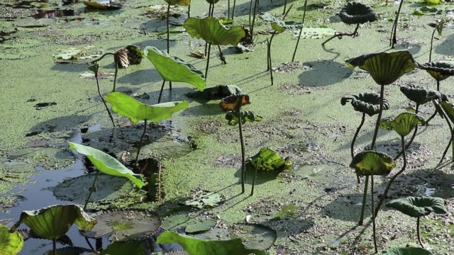 Lotus and water lily field. Water garden morning view. Water garden morning view. Pond covered with fresh or old lotus leaves, water lily leaves, and floating duckweeds. jul stock videos & royalty-free footage