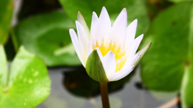 Lotus blooming time lapse video