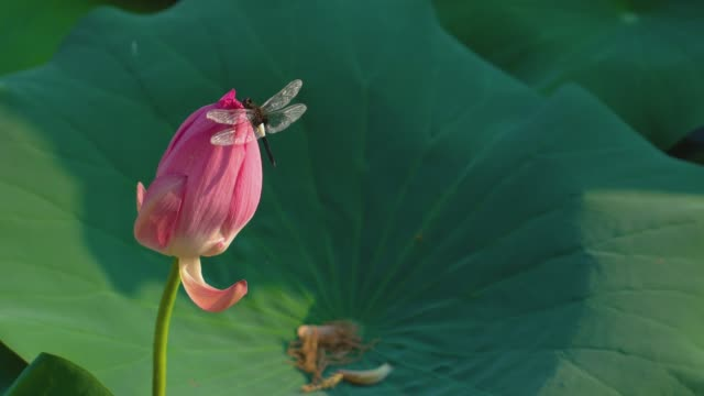 Lotus bud and dragonfly swaying with the wind