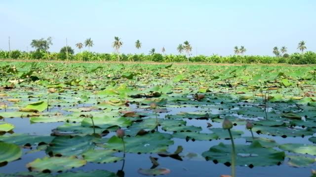Lotus farm in Thailand