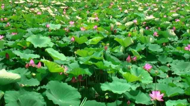 Lotus field video