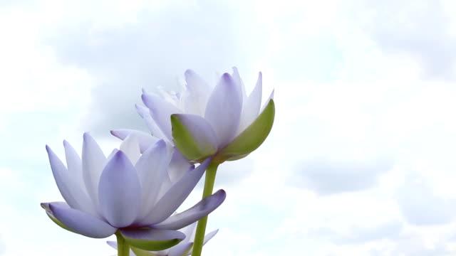 Lotus flower against beautiful blue sky video