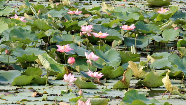 Lotus flower against the wind in pond video