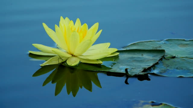 Lotus flower and reflect on water in pond video
