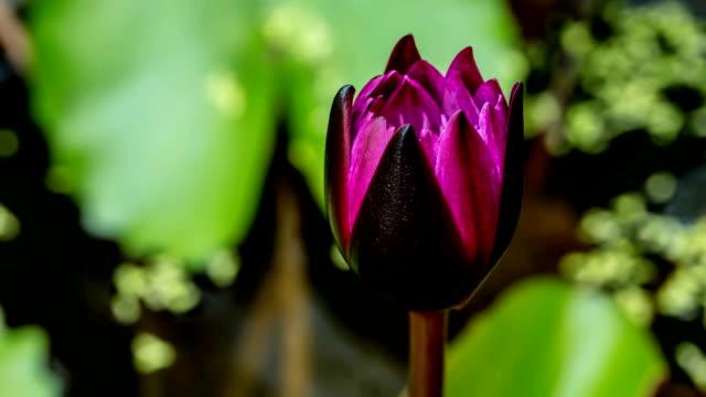 lotus flower blooming in pond, timelapse video