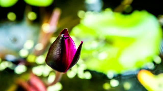 lotus flower blooming in pond, timelapse - lilia filmów i materiałów b-roll