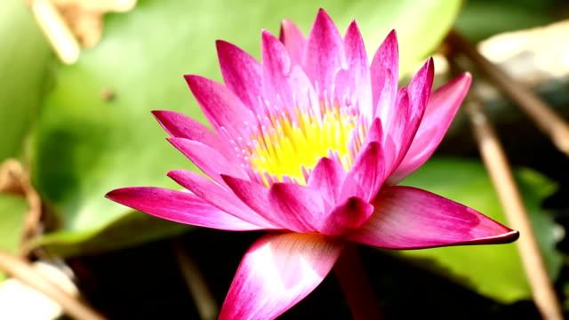 lotus flower blooming in pond video