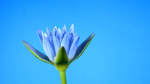 Lotus flower blooming on blue background. video