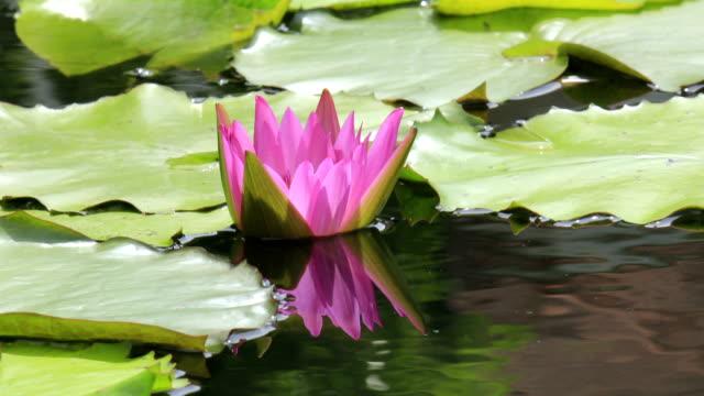 Royalty free lotus flower pond hd video 4k stock footage b roll lotus flower blooming time lapse video mightylinksfo