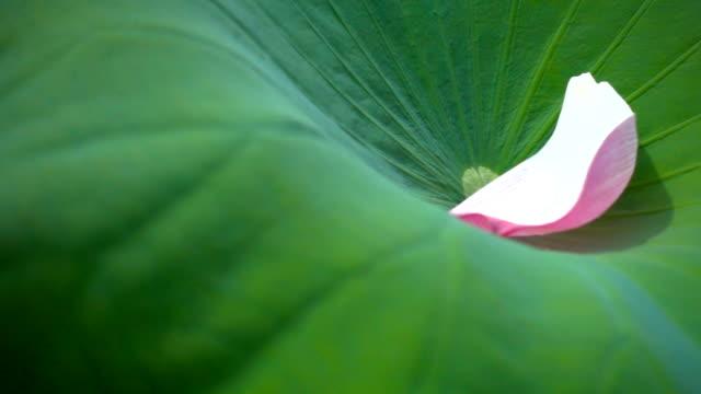 lotus flower dropping on leaves video