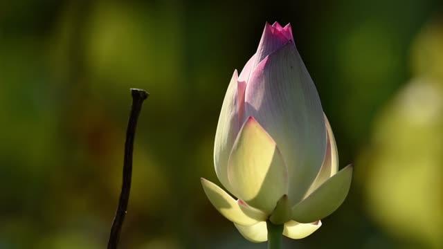 Lotus flower in bud