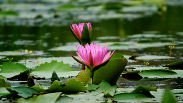 Lotus flower in pond video