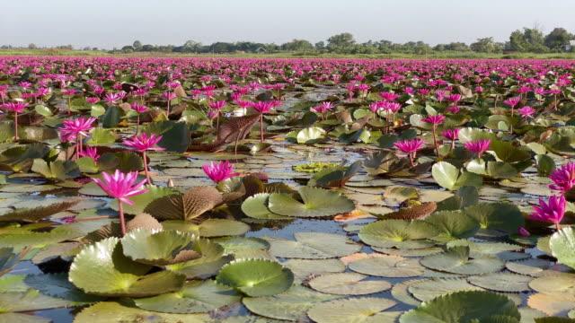 Lotus Flower Lake