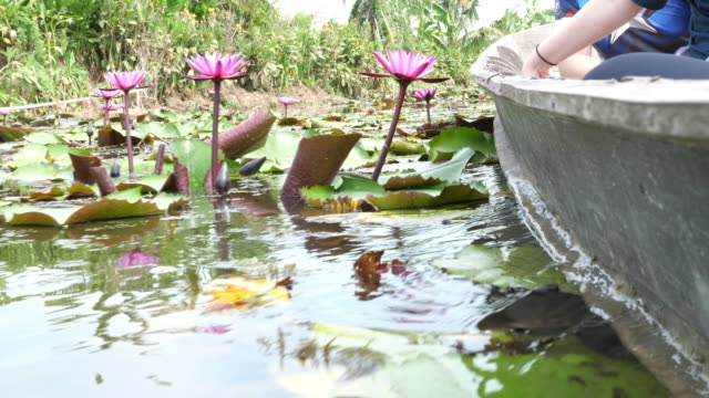 Lotus flower nature plant