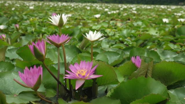 Lotus flower nature plant