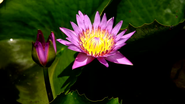 lotus flower lotus flower padding stock videos & royalty-free footage