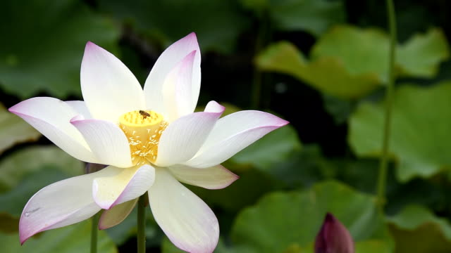 Lotus flower with bee pollination video
