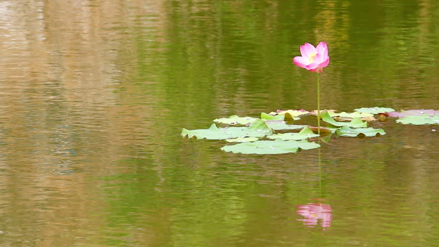 Lotus (water lily) flower with rain globs in gentle breez video