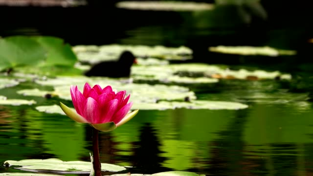 Lotus Flowers and Lily Pads on Lake Water