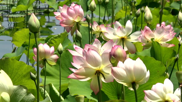 Lotus flowers blooming stock video more clips of beauty 1024443426 lotus flowers blooming stock video more clips of beauty 1024443426 istock mightylinksfo