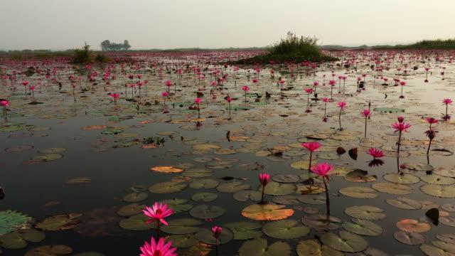 Lotus Flowers Sea Thailand video