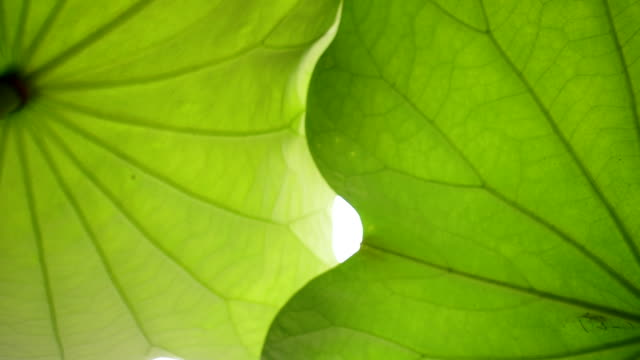 vídeos de stock, filmes e b-roll de folhas de lótus - lotus