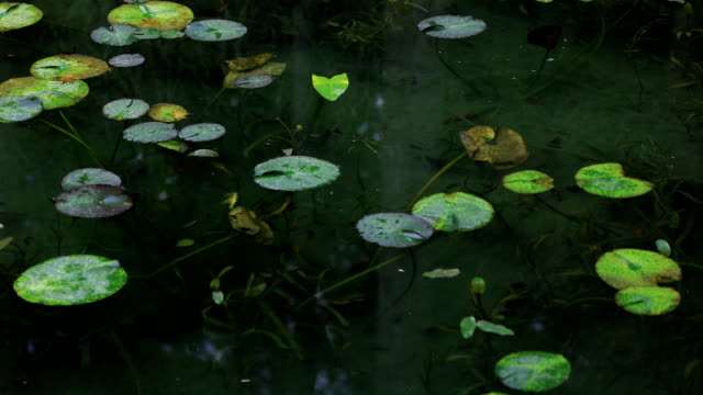 Lotus leaves at the forest in Gifu Japan autumn Gifu / Japan - 11.29.2018 :  camera : Canon EOS 5D mark4 aquatic organism stock videos & royalty-free footage