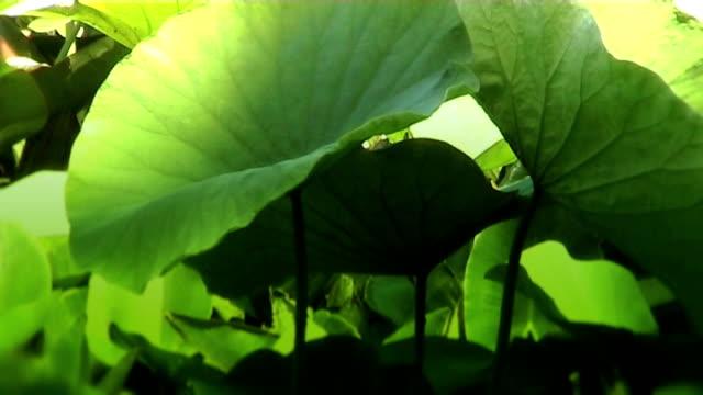 lotus liście na staw w japonii. - opis fizyczny filmów i materiałów b-roll