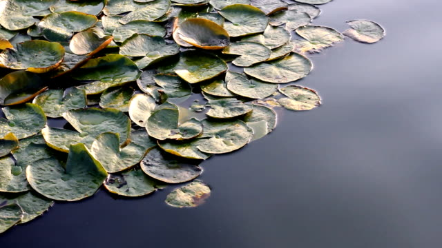 Lotus leaves with water video