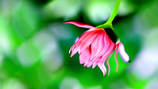 Lotus Lily Flower video