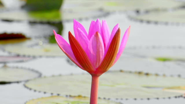 Lotus pink video